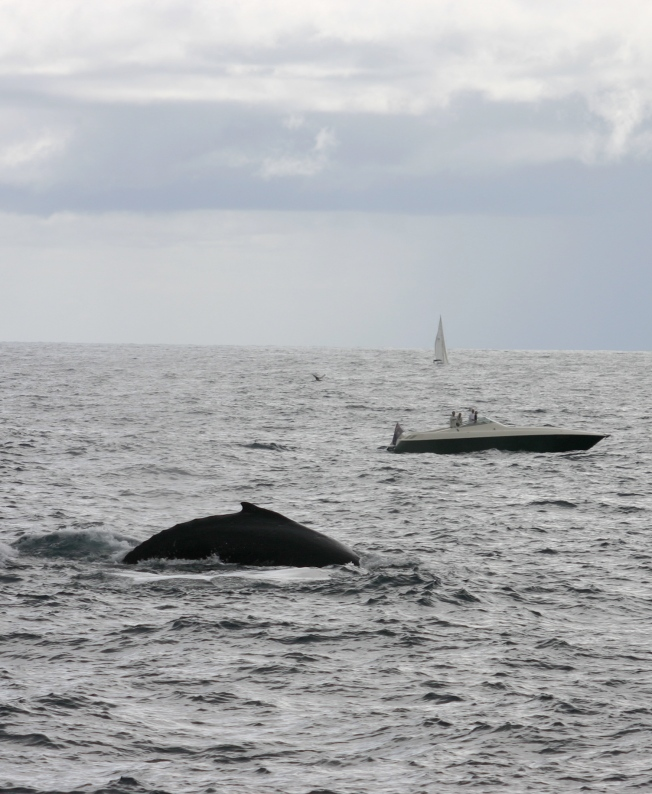 Humpback Whale off Sydney Head, Sunday 18 October 2009